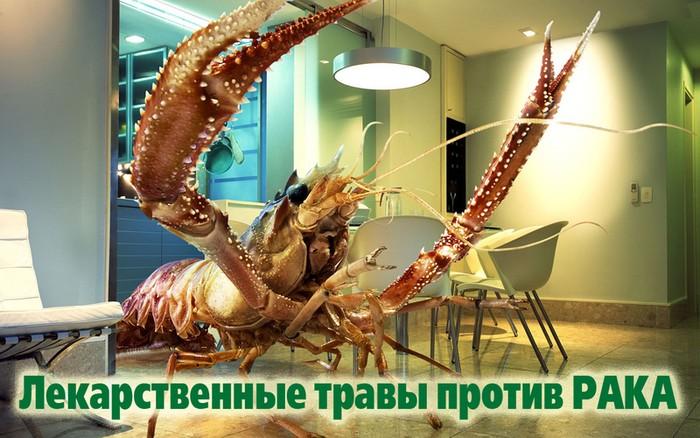 Иван-чай против рака