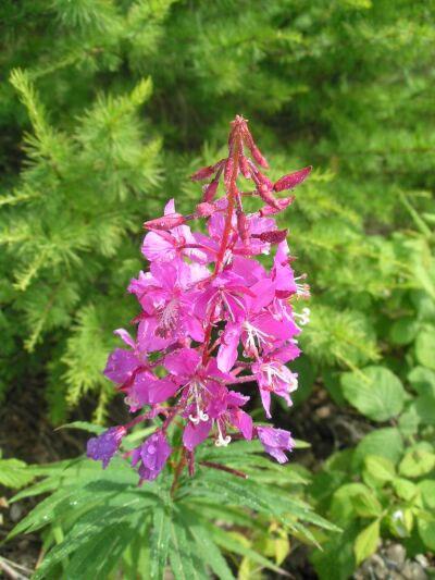 растения похожие на иван-чай фото